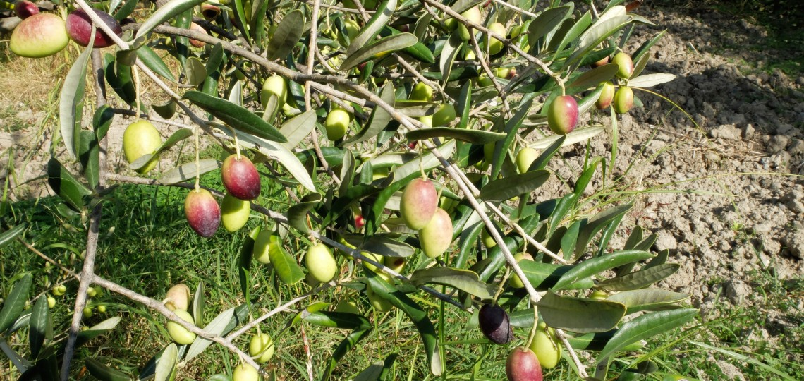 Beautiful olives from the Rovitti olive grove.