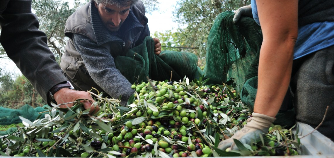 Workers harvesting olives from the Rovitti olive grove.