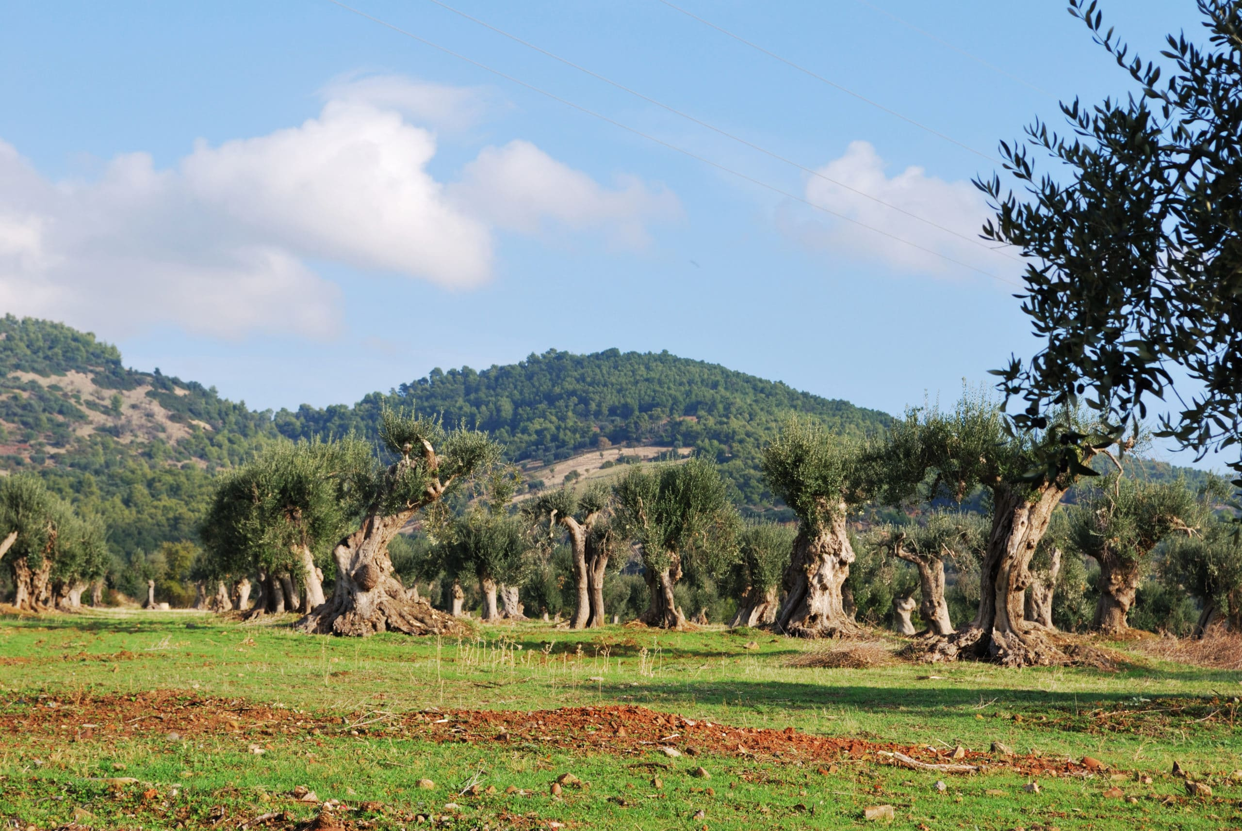 Ancient olive trees, some up to 800 years old, which still bear fruit for production.