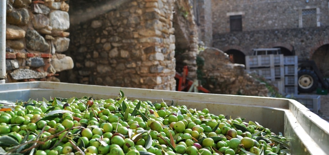 Harvested olives in the courtyard of Palazzo Piana.